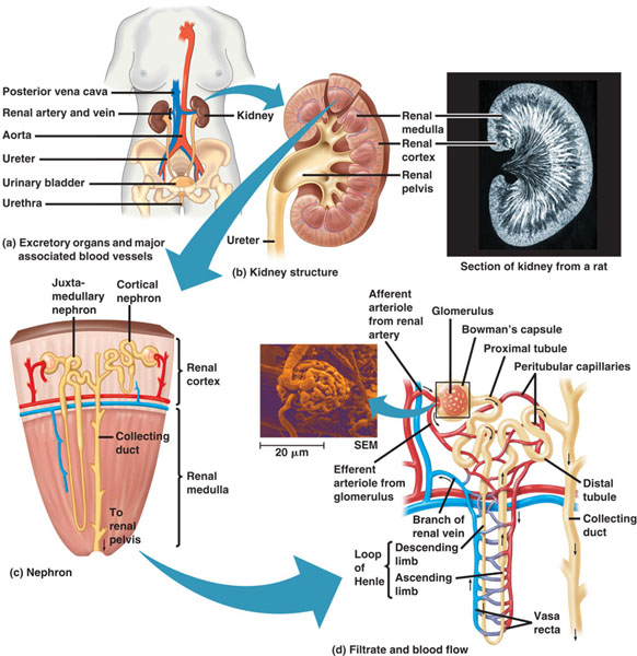 an introduction to the analysis of the human digestive system Free digestive system papers,  digestive physiology in humans - i introduction the human digestive  analysis of the human respiratory system.