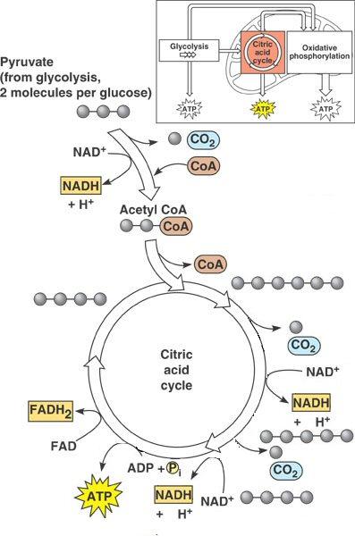 Krebs cycle worksheet