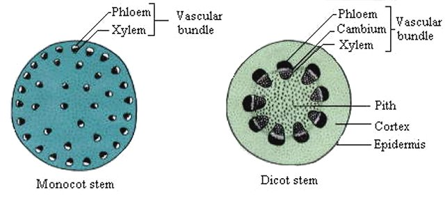 Monocot And Dicot Stems