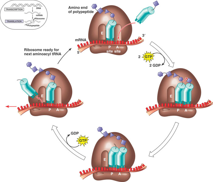 An Overview of Ribosomes